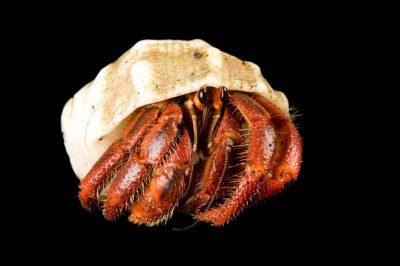 A hermit crab (Paguroidea sp.) on Bioko Island, Equatorial Guinea.