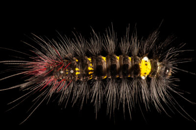 A caterpillar on Bioko Island, Equatorial Guinea.