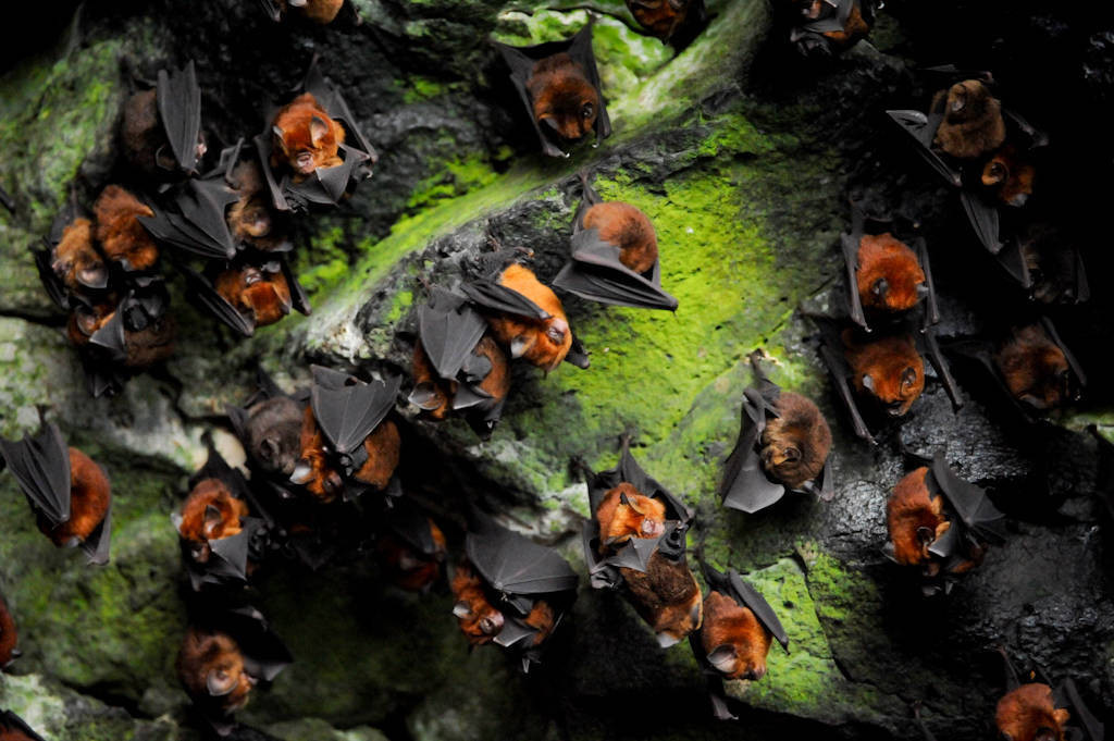 Photo: A coastal cave filled with what most likely are Noack's roundleaf bats (Hipposideros ruber) in Bioko Island, Equatorial Guinea.