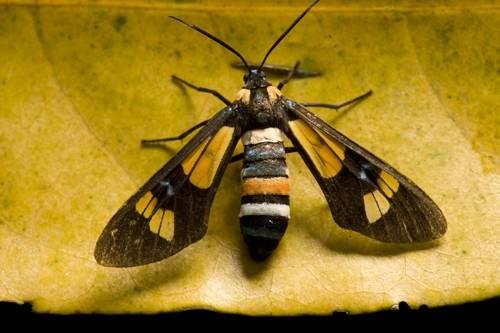 A Burnet moth (Zygaena ephialtes) from Bioko Island, Equatorial Guinea.