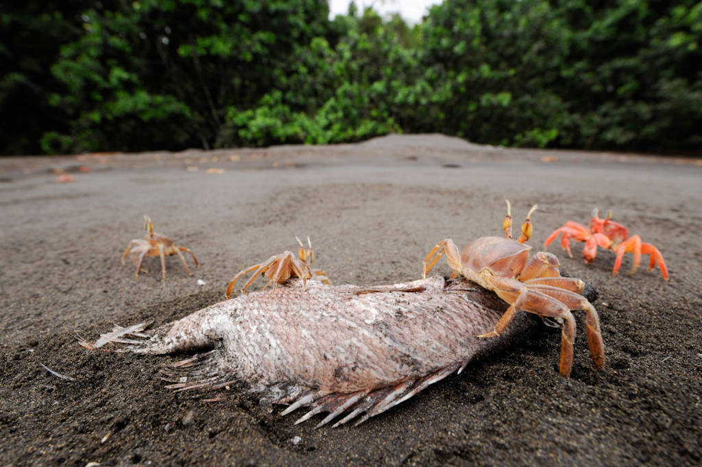 Photo: Ghost crabs (Ocypode cursor) feed on a dead fish on a beach in Bioko Island, Equatorial Guinea.