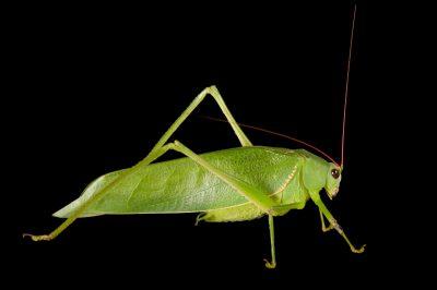 Green katydid (Arantia accrana) from Bioko Island, Equatorial Guinea.