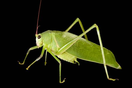Photo: Green katydid (Arantia accrana) from Bioko Island, Equatorial Guinea.