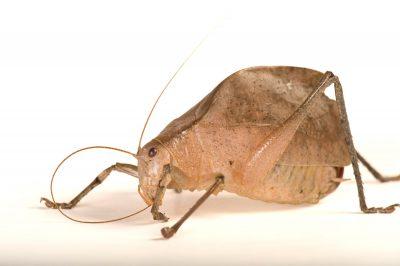 Photo: Leaf-imitating katydid (Corycoides jurinei) from Bioko Island, Equatorial Guinea.