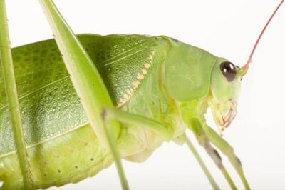 Photo: Green katydid (Arantia accrana) from Bioko Island, Equatorial Guinea.