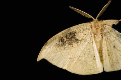 Photo: A geometrid moth (with a damaged wing) on Bioko Island, Equatorial Guinea.