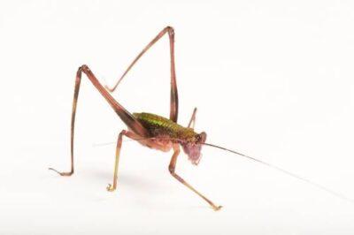 A katydid/grasshopper that has adapted to mimic foliage on Bioko Island, Equatorial Guinea.