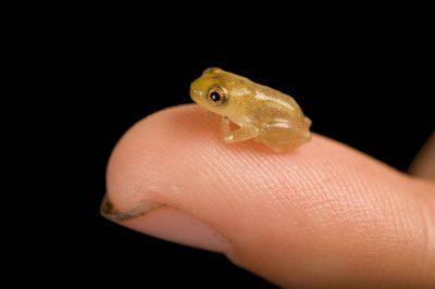 A juvenile frog on Bioko Island, Equatorial Guinea.