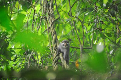 Photo: A red-eared guenon (Cercopithecus erythrotis) sitting on a vine in the rainforest on Bioko Island, Equatorial Guinea.