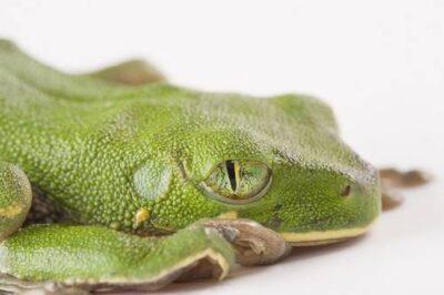 Photo: Victoria forest tree frog (Leptopelis boulengeri) from Bioko Island, Equatorial Guinea.