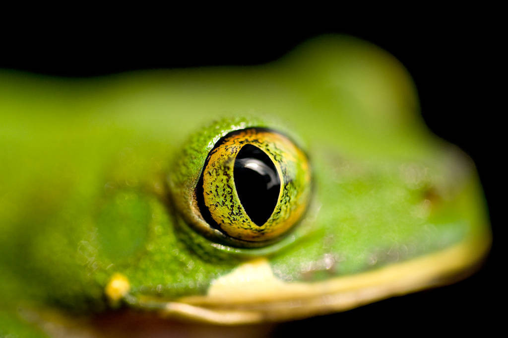 Photo: Victoria forest tree frog (Leptopelis boulengeri) from Bioko Island, Equatorial Guinea.