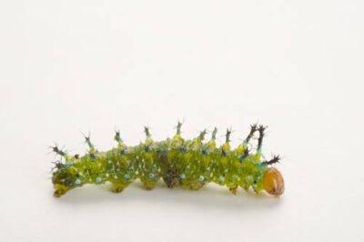 A Nymphalid butterfly caterpillar from Bioko Island, Equatorial Guinea.