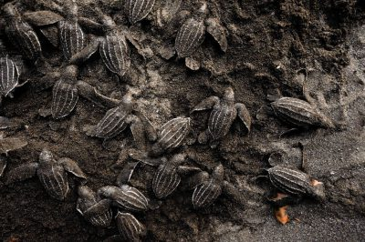 A nest of critically endangered (IUCN) and federally endangered baby leatherback sea turtles (Dermochelys coriacea) hatch along the beach on Bioko Island, Equatorial Guinea.