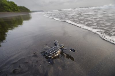 Photo: A hatchling leatherback sea turtle (Dermochelys coriacea) crawls along the beach toward the ocean on Bioko Island, Equatorial Guinea.