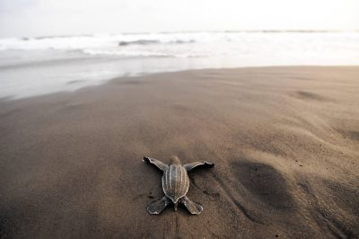 A hatchling leatherback sea turtle (Dermochelys coriacea) crawls along the beach toward the ocean on Bioko Island, Equatorial Guinea. (IUCN: Critically Endangered, US: Endangered)