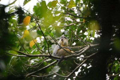 Photo: A crowned guenon (Cercopithecus pogonias) sits in the trees on Bioko Island, Equatorial Guinea.