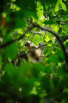 Photo: A crowned guenon (Cercopithecus pogonias) sits in the trees in Bioko island, Equatorial Guinea.