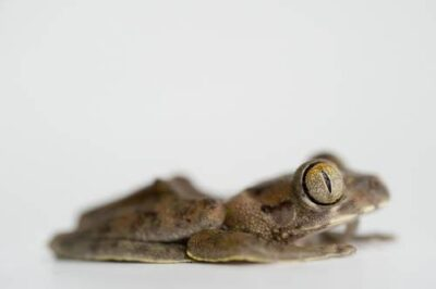 Photo: A Cameroon forest treefrog (Leptopelis brevirostris) from Bioko Island, Equatorial Guinea.