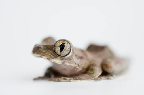 Photo: A Cameroon forest treefrog (Leptopelis brevirostris) from Bioko Island, Equatorial Guinea.