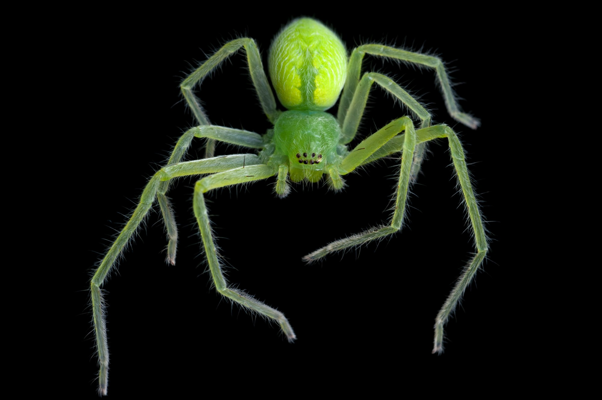 A giant crab spider (Olios fasciculatus) from Bioko Island, Equatorial Guinea.