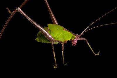 A katydid from Bioko Island, Equatorial Guinea.