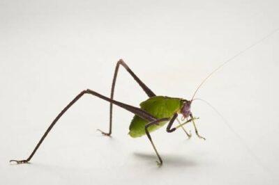 Juvenile katydid (Arantia sp.), from Bioko Island, Equatorial Guinea.