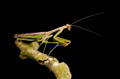 Photo: A praying mantis from Bioko Island, Equatorial Guinea.