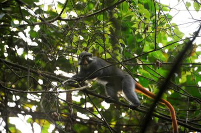 Photo: A red-eared guenon (Cercopithecus erythrotis) climbs among the branches of the jungle on Bioko Island, Equatorial Guinea.