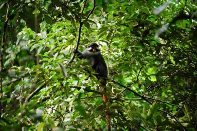 Photo: A red-eared guenon (Cercopithecus erythrotis) on Bioko Island, Equatorial Guinea.