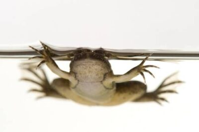 An African clawed frog (Silurana tropicalis) from Bioko Island, Equatorial Guinea.