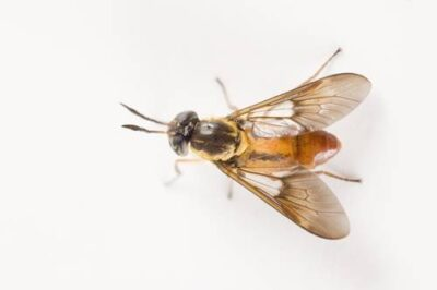 A day-biting fly (Chrysops), thought to carry the disease loa loa (Filariasis), from Bioko Island, Equatorial Guinea.