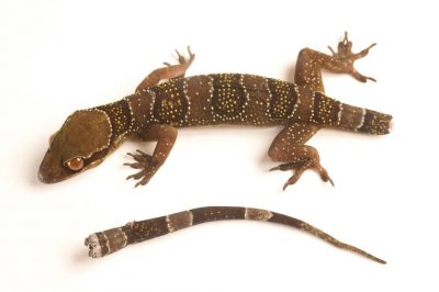 A gecko (Hemidactylus fasciatus) with a broken tail, which will grow back, from Bioko Island, Equatorial Guinea.