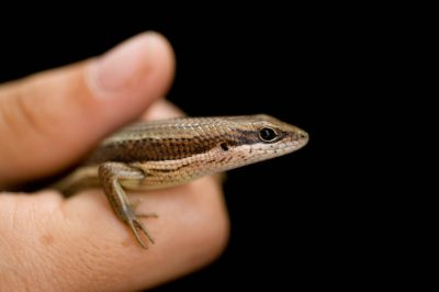 Photo: Senegal Mabuya (Trachylepis affinis) from Bioko Island in Equatorial New Guinea.