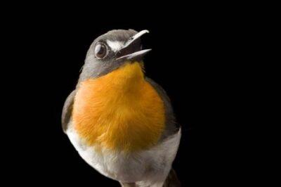 A forest robin (Stiphrornis erythrothorax) from Bioko Island, Equatorial Guinea.