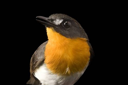 A forest robin (Stiphrornis erythrothorax) from Bioko Island, Equatorial Guinea.