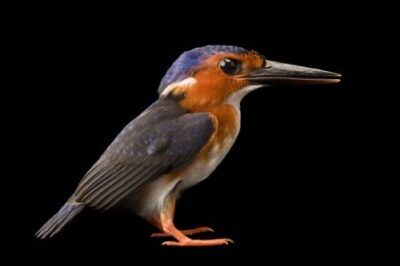 A white-bellied kingfisher (Alcedo leucogaster) from Bioko island, Equatorial Guinea.