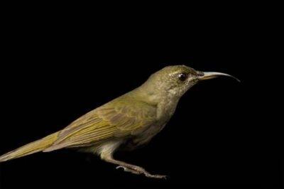 Photo: An olive sunbird (Nectarinia olivacea) from Bioko Island, Equatorial Guinea.