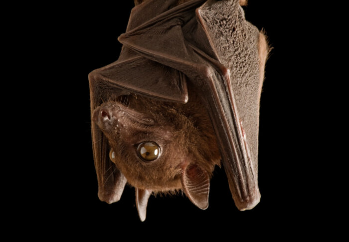 A fruit bat (Lissonycteris angolensis) hanging with wings folded, from Bioko Island, Equatorial Guinea.