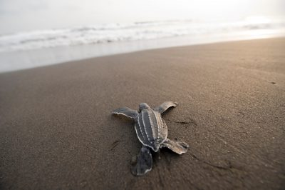 Photo: A leatherback sea turtle hatchling crawls toward the ocean.