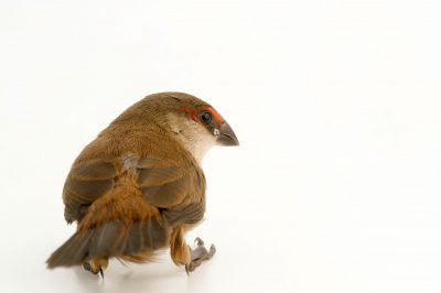 Photo: A common waxbill (Estrilda astrild occidentalis) from Bioko Island, Equatorial Guniea.