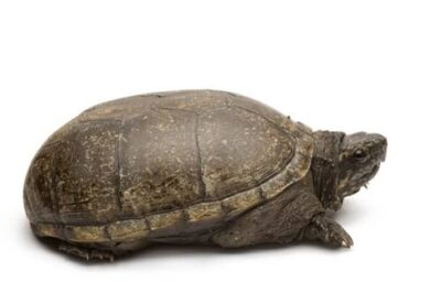 A Mississippi mud turtle (Kinosternon subrubrum hippocrepis) at Millard's Turtle Farm, Birmingham, Iowa.