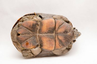 The bottom side of a Mississippi mud turtle (Kinosternon subrubrum hippocrepis) at Millard's Turtle Farm, Birmingham, Iowa.