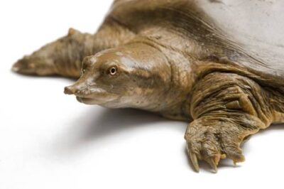 A smooth softshell turtle (Apalone mutica) at Millard's Turtle Farm.