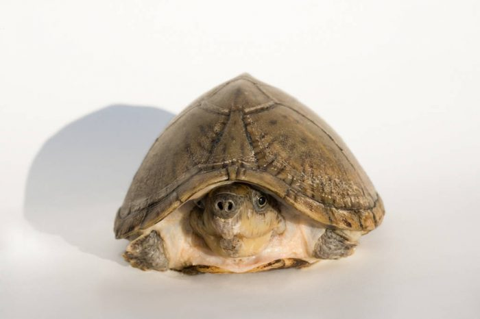 A razorback musk turtle (Sternotherus carinatus) from a private collection.