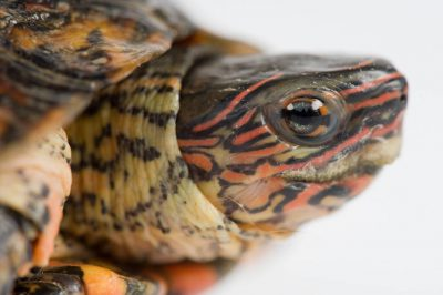 A painted wood turtle (Rhinoclemmys pulcherrima) at the Lincoln Children's Zoo, Lincoln, Nebraska.