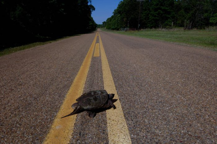Photo: A snapping turtle (Chelydridae) at Bayou De View in the Cache River National Wildlife Refuge, Arkansas.