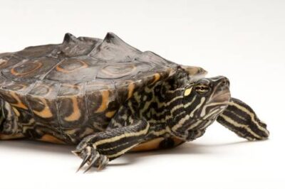 A ringed map turtle, Graptemys oculifera, at the National Mississippi River Museum and Aquarium in Dubuque, IA. This species is listed as endangered (IUCN) and federally threatened.