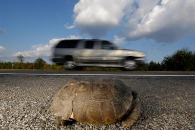A gopher tortoise (Gopherus polyphemus) sits alongside a highway. This animal is federally listed as threatened from west of Mobile Bay, Alabama throughout southern Mississippi, and into eastern Louisiana. (IUCN: Vulnerable)