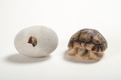 A critically endangered Kleinmann's tortoise (Testudo kleinmanni) egg and baby at the Woodland Park Zoo.