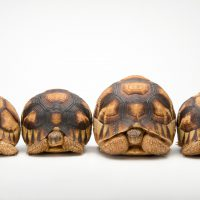 Picture of a row of critically endangered ploughshare tortoises (Astrochelys yniphora) at Zoo Atlanta.